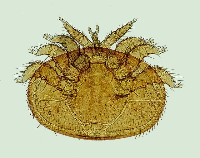Клещ Варроа под микроскопом