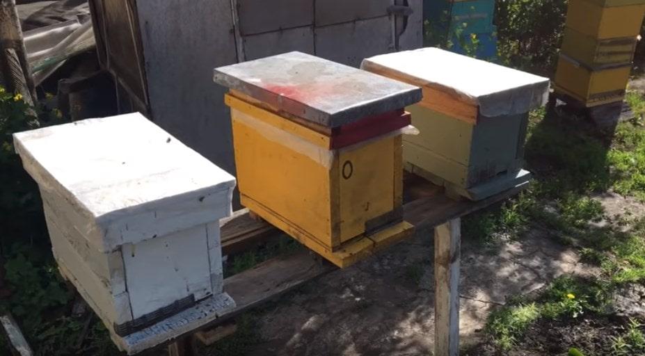 Вывод пчелиных маток шаг второй
