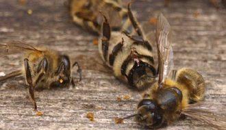 Акароз пчел